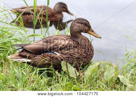 Female Ducks