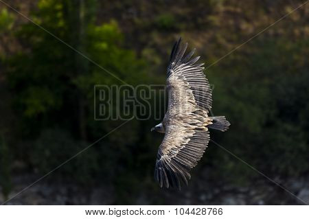 Vulture, Hoces Del Duraton, Segovia, Spain