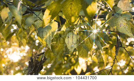 Fall Yellow and Green Elm Leaves with Star Sunlight.