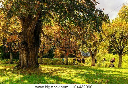 Big Old Tree In A Park With  Tourists Walking Beside At The Museum-estate Mikhailovskoye