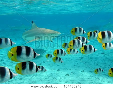 Shark And Butterfly Fish