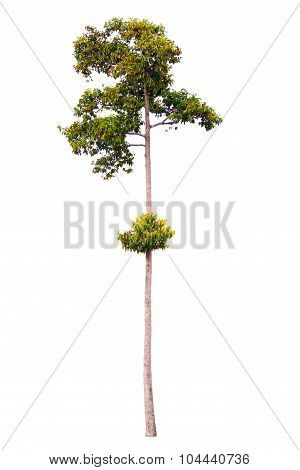 Tall Tree On White Background, Isolated