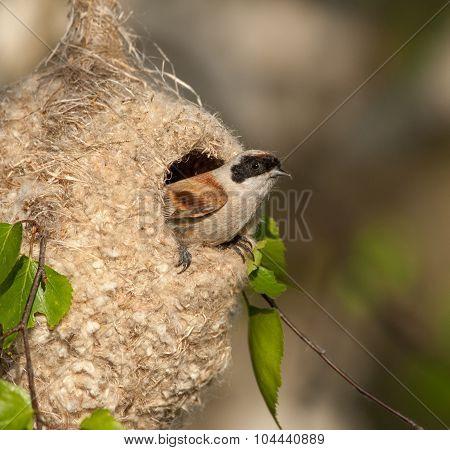 Eurasian Penduline Tit  Builds A Nest