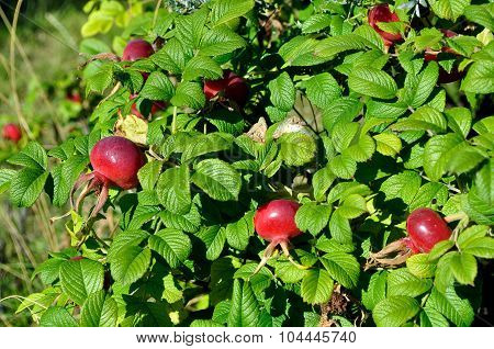 Summer Landscape With Rosehip Berry