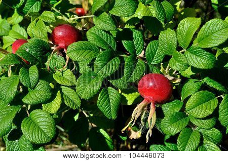Summer Landscape With Rosehip Berries - Closeup