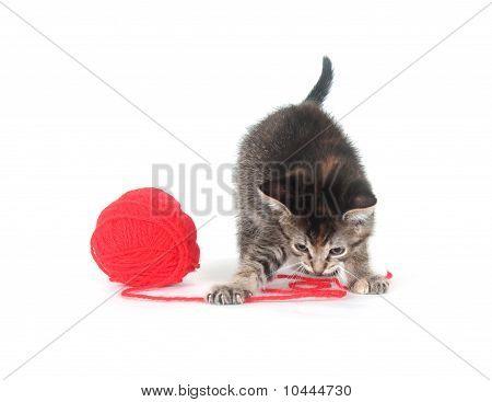 Tabby Kitten And Yarn