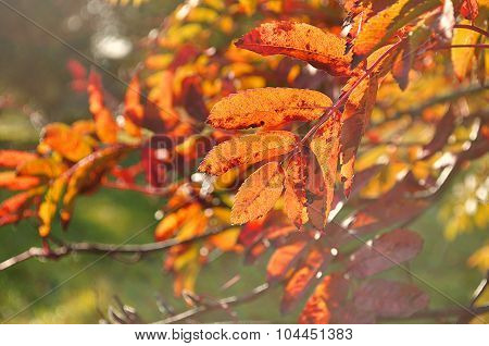Orange Mountain Ash Tree Branches Lit By Sunlight - Autumn Background