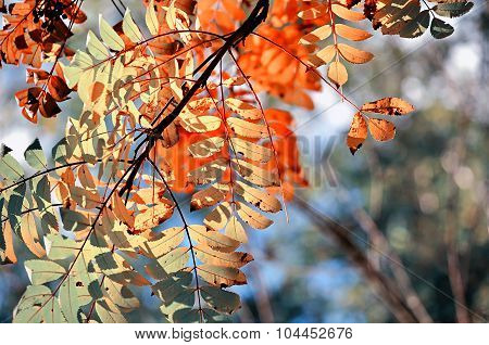 Colored Mountain Ash Tree Branches In Sunlight - Autumn Background