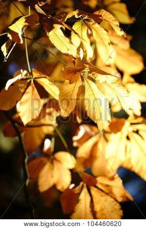 Autumn leaves Horse Chestnut