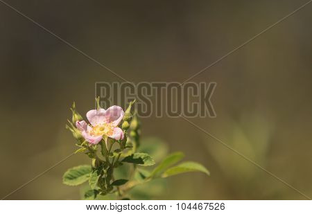 Wild pink dog rose, Rosa canina, blooms with orange berries