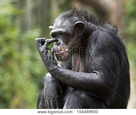 itchy chimp