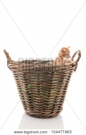 Little red Siamese kitten in basket isolated over white background