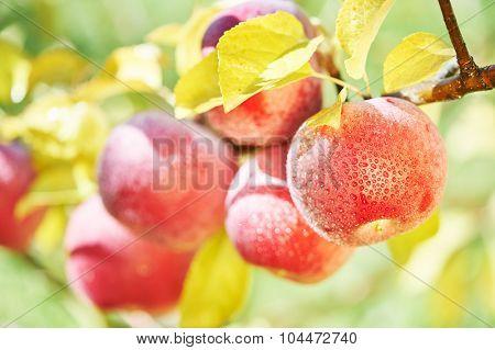 Apple harvest. Fresh red fruit on tree branch in farm orchard garden