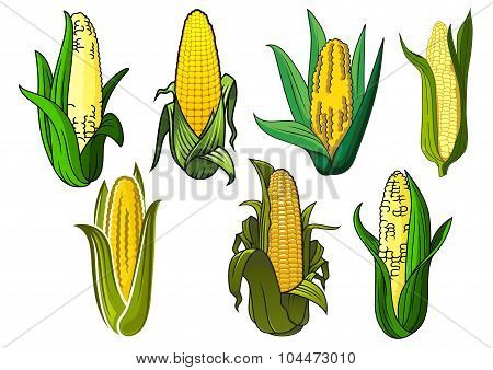 Isolated weet corn cobs vegetables