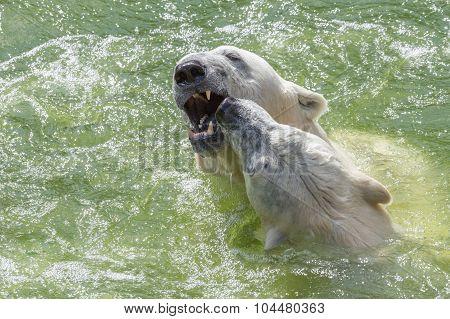 Dogged Polar Bears