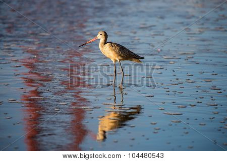 Long-billed Dowitcher (Limnodromus scolopaceus) reflected by famous Golden-Gate Bridge