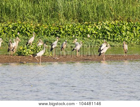 Flock Of Asian Openbill In Marsh