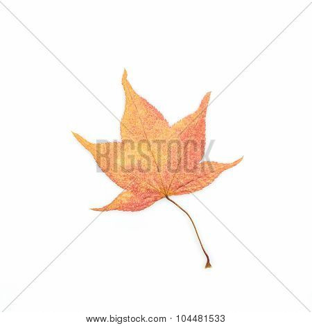Dry Leaf With Maple.