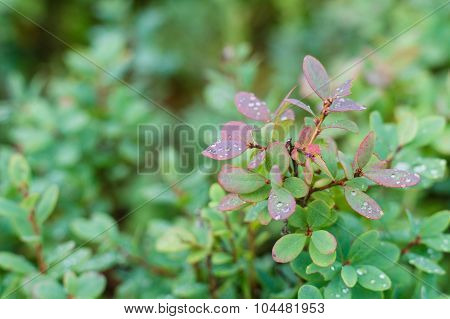 Cowberry Bush Closeup With Rain Drops On Foliage
