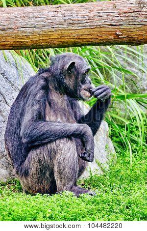 Apes - Chimpanzee Monkey.
