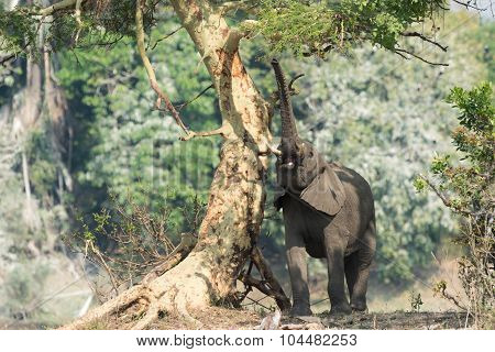 An African Elephant Reaching For The Leaves Of A Fever Tree