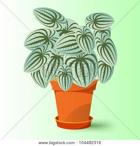 peperomia marmorata plant in a pot