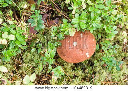 Orange-cup Mushroom (leccinum Aurantiacum) Overlook View