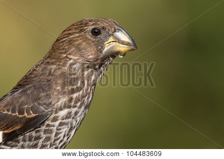 Portrait Of A Female Thick-billed Weaver (amblyospiza Albifrons)