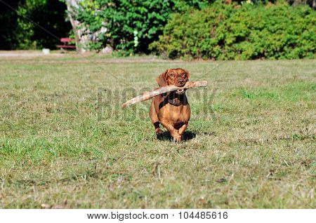 Dog brings a stick.Dachshund.