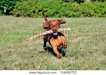 Dog brings a stick.