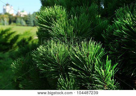 Beautiful fir tree twigs, outdoors
