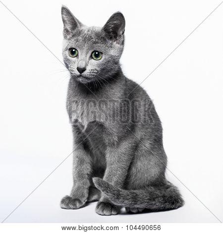 Small gray kitten on white background