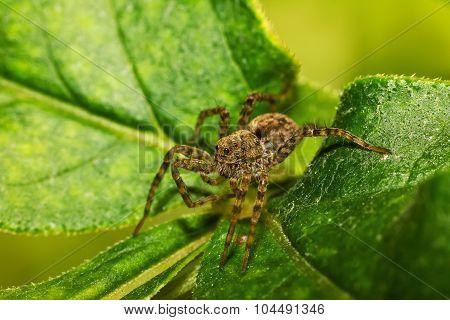 Spider On Green Leaf