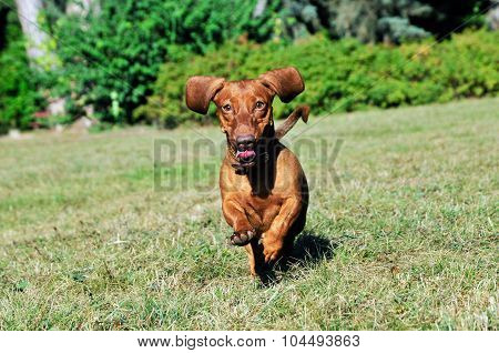 Dog breed standard smooth-haired dachshund, bright red color,female.