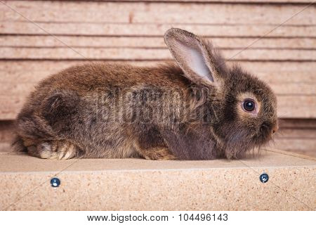 Full body of a furry lion head rabbit bunny lying on a wood box.