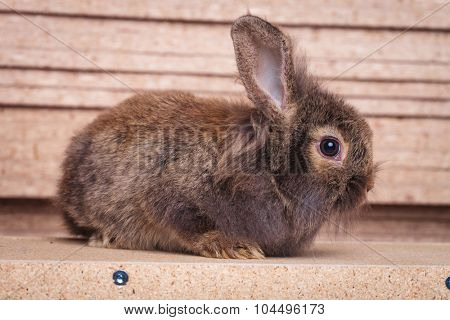 Side view of a lion head rabbit bunny sitting on a wood background.