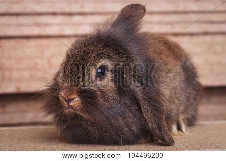 Portrait of a cute furry lion head rabbit bunny sitting on wood background, looking at the camera.