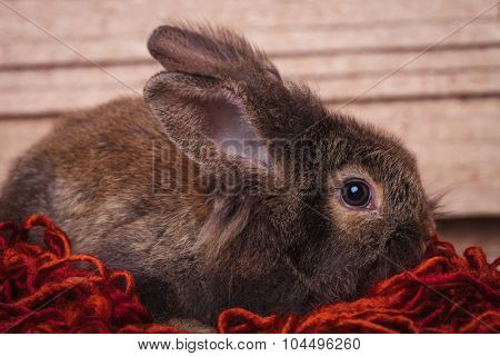 Side view of a brown lion head rabbit bunny lying on a red scarf.