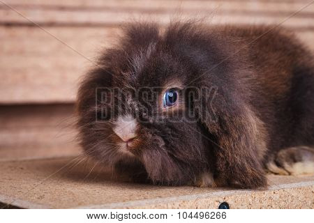 Side view picture of a cute lion head rabbit bunny lying in wood background while looking at the camera.