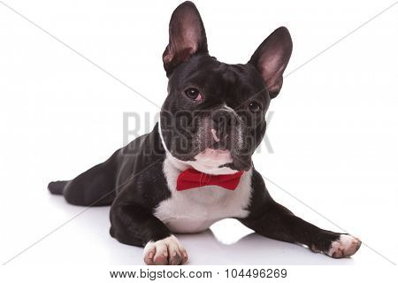 adorable french bulldog puppy wearing bow tie lying down on white background