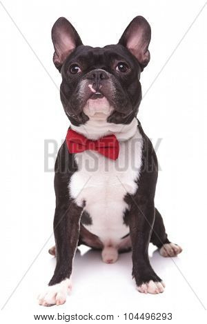 little french bulldog puppy dog with bow tie looking up, isolated on white background