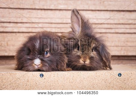 Two cute lion head rabbit bunnys lying on wood background, looking at the camera.