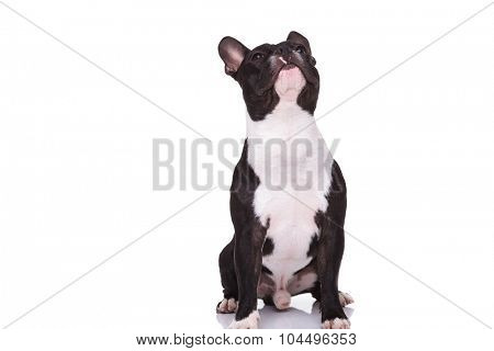curious little french bulldog puppy sitting and looking up isolated on white background