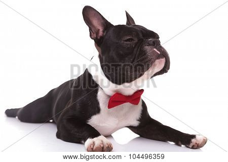 arrogant little french bulldog puppy sniffing a scent , wearing a red bowtie and lying down on white background