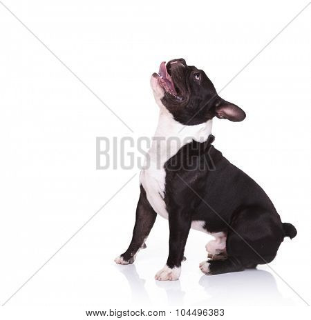 side view of an amazed french bulldog puppy looking up isolated on white background