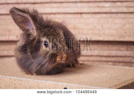 Single lion head rabbit bunny sitting on a wood box holding one ear up.