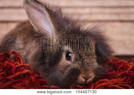 Adorable brown lion head rabbit bunny lying on a red scarf holding one ear up.