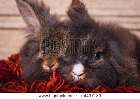 Two adorable lion head rabbit bunnys lying together on a red scarf.