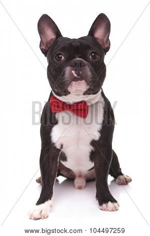 portrait of a cute french bulldog puppy wearing bow tie , sitting on white studio background