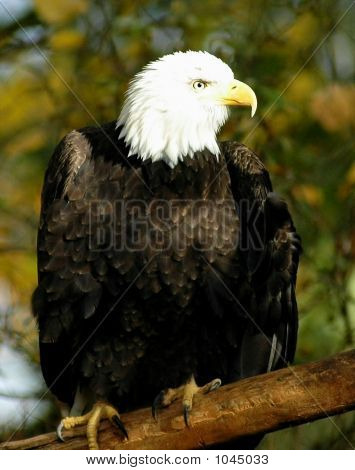 Bald Eagle On Limb